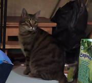 пропал кот! окраса табби, нашедшему вознаграждение! Одесса