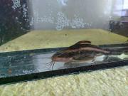 Аквариумные рыбки Кривой Рог
