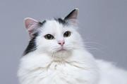 Отдам в хорошие руки шикарного молодого котика Ивашу Kiev