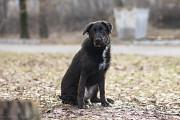 Віддам в добрі руки собаку підлітка , крупненьку дівчинку Різі. Киев