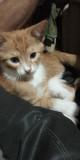 Отдам бесплатно котенка в хорошие руки Zaporizhzhya