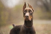 Віддам в добрі руки молодого собаку Джона, доберман Киев