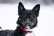 Віддам в добрі руки молоду собачку Шейру Kiev