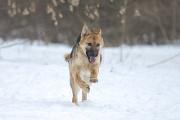 Віддам в добрі руки молоду собаку Солю, метис німецької вівчарки. Киев