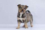 Отдам в хорошие руки щенка девочку Олимпию Киев