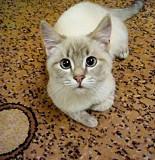 Голубоглазый котенок в хорошие руки Запорожье