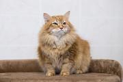Отдам в хорошие руки очень ласкового, немолодого кота Конфуция Киев