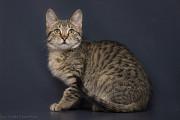 Отдам в хорошие руки котенка мальчика Литона Киев