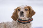 Отдам в хорошие руки пса Формана, породы бретонский эпаньоль Киев