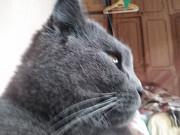 Отдам британскую короткошерстную кошку Одесса