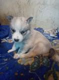 Отдам щенков в хорошие руки помесь хаски с обычной возраст почти два месяца Харьков