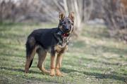 Отдам в хорошие руки щенка подростка, девочку Поршу, метис немецкой овчарки Киев