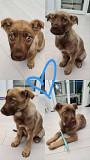 Папа - ласковая 5-месячная девочка щенок Kiev