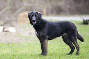 Отдам в хорошие руки молодую крупную, очень добрую собаку Ризи Киев