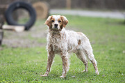 Отдам в хорошие руки пса Формана, породы беретонский эпаньол Киев