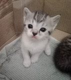 Отдам котят в хорошие руки Vinnytsya