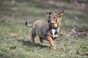 Отдам в хорошие руки щенка подростка, девочку Олимпию, небольшого размера Киев
