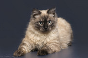 Отдам в хорошие руки юного котика Джерри Kiev