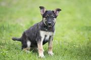 Отдам в хорошие руки щенка девочку Симони, будет среднего размера Киев