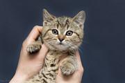 Отдам в хорошие руки очаровательного котенка девочку Бетс Kiev