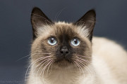 Отдам в хорошие руки молодого тайского котика Бенжи Kiev
