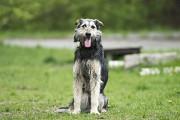 Отдам в хорошие руки чудесную, умную собаку Чили Kiev