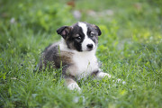 Отдам в хорошие руки щенка девочку Яни Kiev