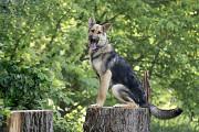 Отдам в хорошие руки молодую собаку Кипши, метис овчарки Kiev