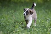 Отдам в хорошие руки щенка мальчика Якоба Kiev
