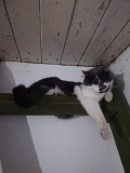 Сбежала серо-белая кошка Pinsk