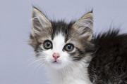 Отдам в хорошие руки глазастенькую Шэрон, котенка девочку Kiev
