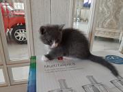 Котята домашней кошки в дар Minsk