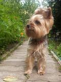 Потерялась собака по кличке Буля Mazyr