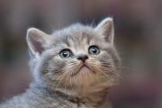 Отдам в хорошие руки котенка девочку Челс Kiev