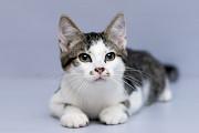 Отдам в хорошие руки котенка мальчика Воллиса Kiev