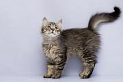 Отдам в хорошие руки котенка мальчика Бриско Kiev