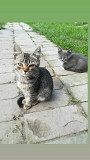 Отдам котят, девочка и мальчик Pinsk