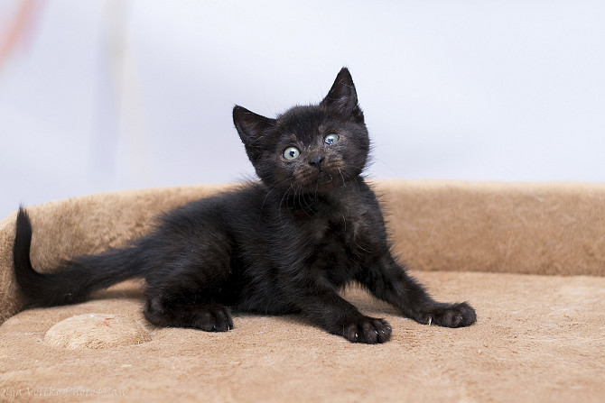 Отдам в хорошие руки котенка девочку Хейз Kiev - photo 1