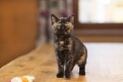 Отдам в хорошие руки котенка девочку Чайну Kiev