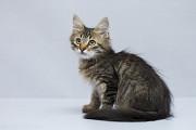 Отдам в хорошие руки котенка мальчика Грендика Kiev