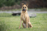 Отдам в хорошие руки молодую собаку Озму Kiev