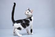 Отдам в хорошие руки котенка мальчика Шема Kiev