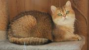 Чистопородные титулованные кошки Kaliningrad