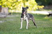 Отдам в хорошие руки жизнерадостную активную собаку Хэдли Kiev