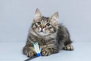 Отдам в хорошие руки чудесного котика подростка Бриско Kiev