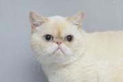 Отдам в хорошие руки молодую кошечку Абигейл, породы экзот Kiev